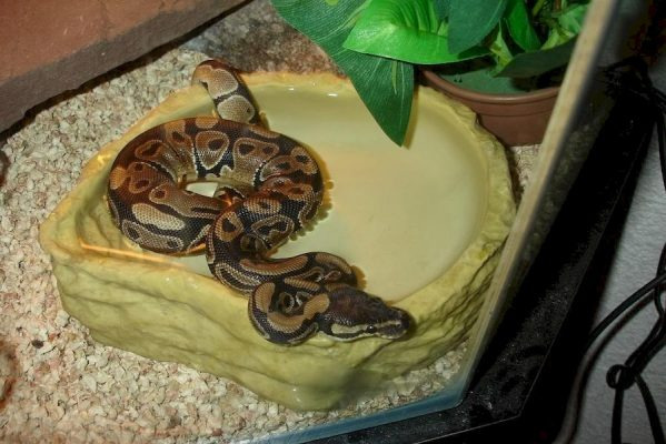 Serpent domestique